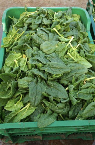 Cassetta di spinaci freschi biologici